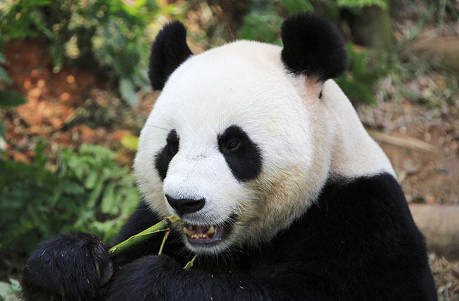 Rare giant panda in forest.