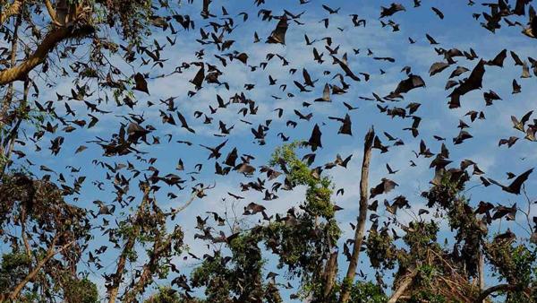 Migration-of-the-Bats-Safari