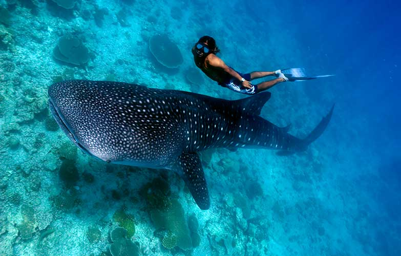 Swim-With-Whale-Sharks