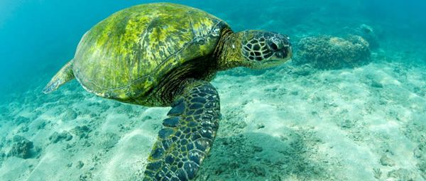 green-sea-turtle-hawaii-3099