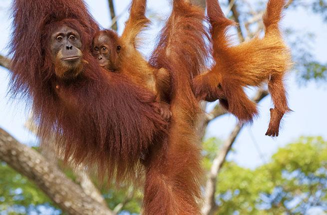 1-Borneo-Orangutans