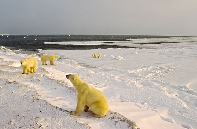 Polar bears gather on shore waiting for freeze up. Canadian Arctic.