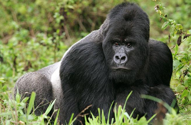 2-Rwanda-Mountain-gorillas