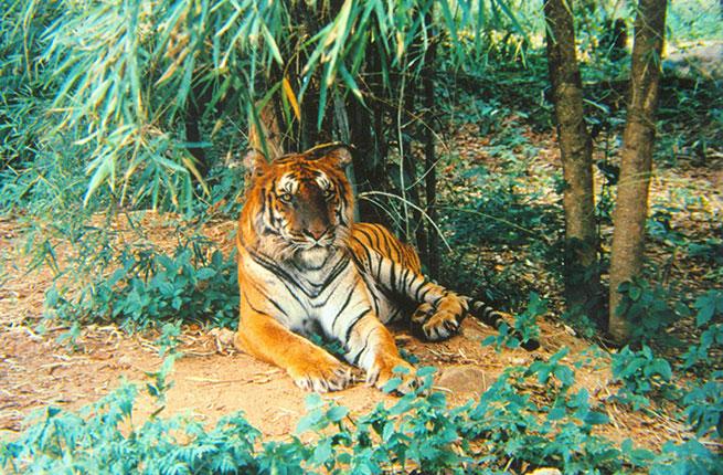 4-India-Tiger