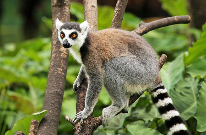 7-Madagascar-Ring-tailed-Lemur