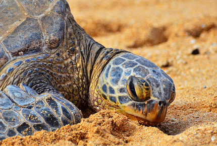 Turtles_lay_their_eggs_on_the_beaches_of_Veracuz_150123181436_szT1WT