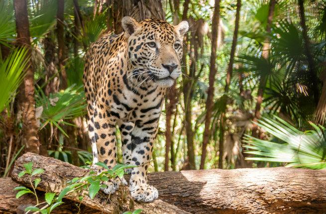 belize-jaguar-resized