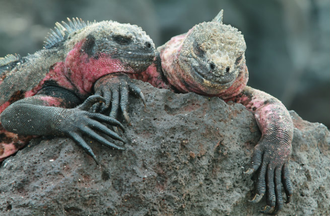 galapagos-iguanas