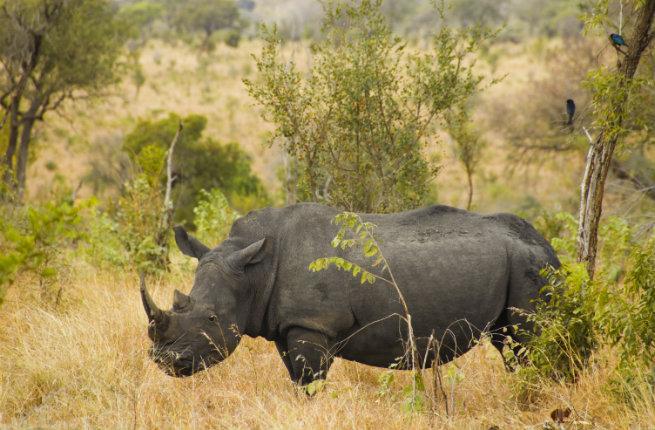rhino-kruger-resized