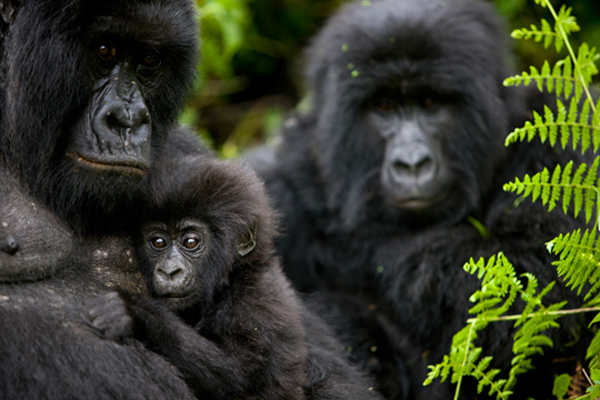 Gorilla-Lovers-Safari