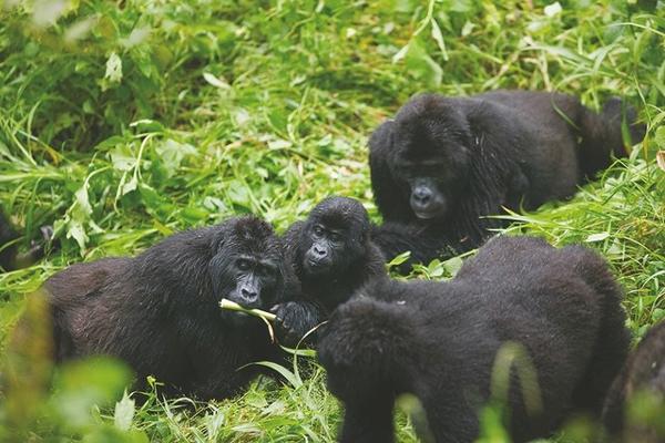 Meet-Gorillas