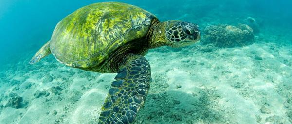 green-sea-turtle-hawaii-3099